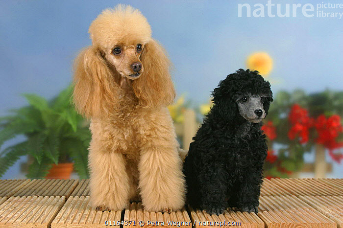 Domestic dog, 6 week old silver Miniature Poodle puppy with apricot Miniature Poodle, BABIES,BABY,BLACK,Color,colour,CUTE,DOGS,FRIENDS,JUVENILE,pedigree,PETS,puppies,puppy,SITTING,Studio,utility,VERTEBRATES,WORKING,Canids, Petra Wegner