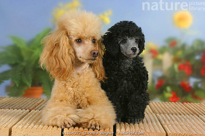 Domestic dog, 6 week old silver Miniature Poodle puppy with apricot Miniature Poodle  ,  BABIES,BABY,BLACK,Color,colour,CUTE,DOGS,FRIENDS,JUVENILE,pedigree,PETS,puppies,puppy,SITTING,Studio,utility,VERTEBRATES,WORKING,Canids  ,  Petra Wegner