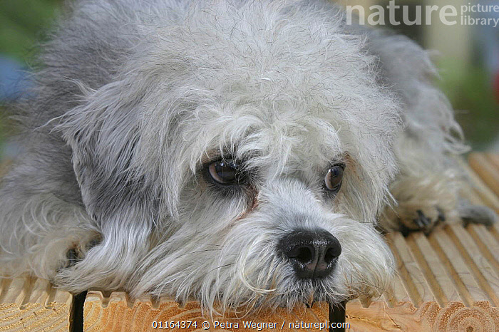 Domestic dog, Dandie Dinmont Terrier face, CUTE,DOGS,FACES,HEADS,lying down,pedigree,PETS,SAD,Studio,terriers,VERTEBRATES,Concepts,Canids, Petra Wegner