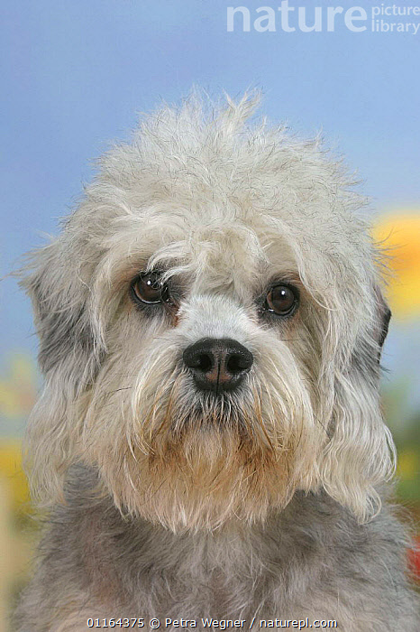 Domestic dog, Dandie Dinmont Terrier  ,  CUTE,DOGS,FACES,HEADS,pedigree,PETS,Studio,terriers,VERTEBRATES,VERTICAL,Canids  ,  Petra Wegner