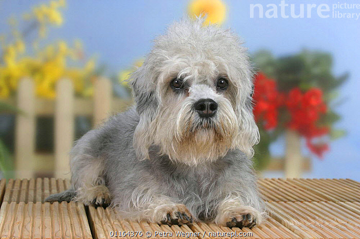 Domestic dog, Dandie Dinmont Terrier, CUTE,DOGS,lying down,pedigree,PETS,Studio,terriers,VERTEBRATES,Canids, Petra Wegner