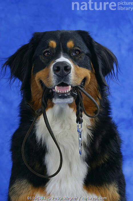 Domestic dog, Bernese Mountain Dog holding leash / lead in mouth, CUTE,DOGS,pedigree,PETS,Studio,utility,VERTEBRATES,VERTICAL,walking,WORKING,Canids, Petra Wegner