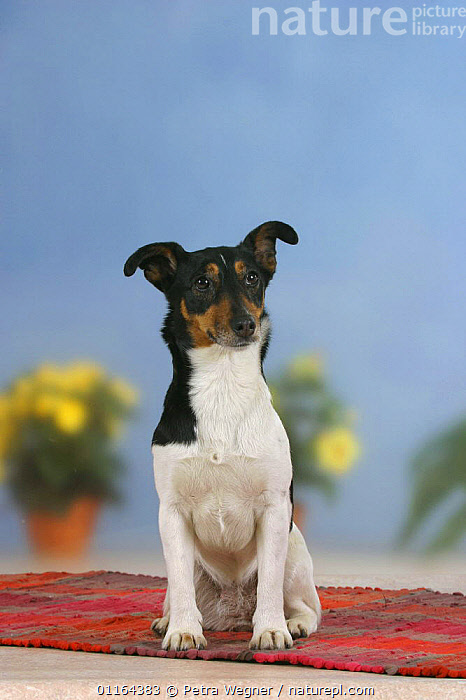 Domestic dog, Jack Russell Terrier  ,  DOGS,pedigree,PETS,SITTING,Studio,terriers,VERTEBRATES,VERTICAL,Canids  ,  Petra Wegner