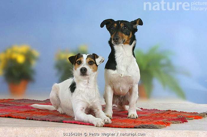 Domestic dog, two Jack Russell Terriers  ,  DOGS,FRIENDS,pedigree,PETS,SITTING,Studio,terriers,VERTEBRATES,Canids  ,  Petra Wegner