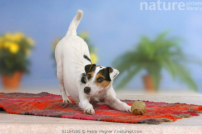 Domestic dog, Jack Russell Terrier, play bow, DOGS,pedigree,PETS,Studio,terriers,VERTEBRATES,Canids, Petra Wegner