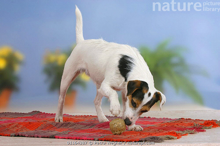 Domestic dog, Jack Russell Terrier playing with rawhide ball, DOGS,pedigree,PETS,Studio,terriers,VERTEBRATES,Canids, Petra Wegner