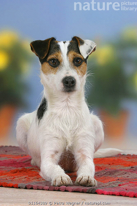 Domestic dog, Jack Russell Terrier  ,  DOGS,lying down,pedigree,PETS,Studio,terriers,VERTEBRATES,VERTICAL,Canids  ,  Petra Wegner
