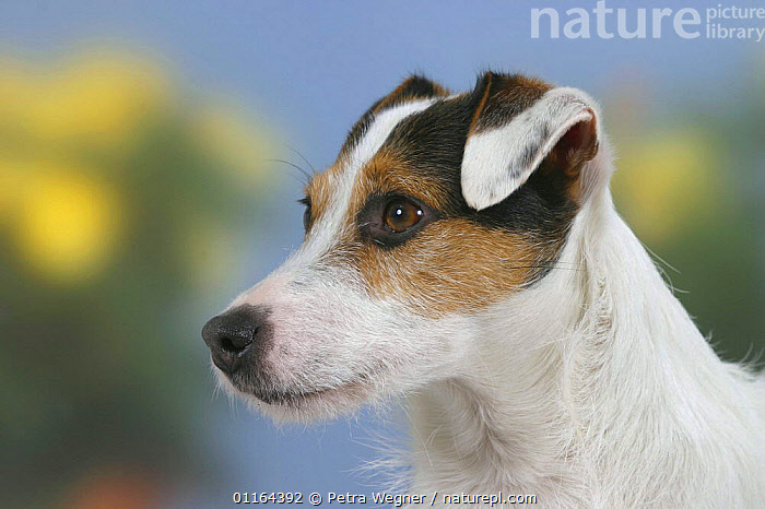 Domestic dog, Jack Russell Terrier  ,  DOGS,FACES,HEADS,pedigree,PETS,PROFILE,Studio,terriers,VERTEBRATES,Canids  ,  Petra Wegner