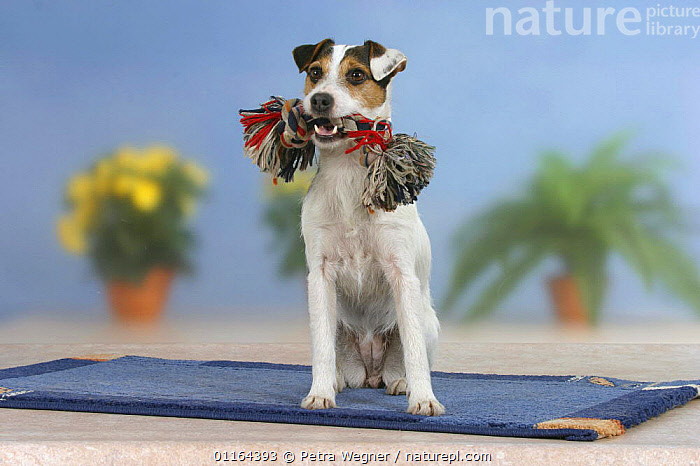 Domestic dog, Jack Russell Terrier holding toy  ,  DOGS,pedigree,PETS,SITTING,Studio,terriers,VERTEBRATES,Canids  ,  Petra Wegner