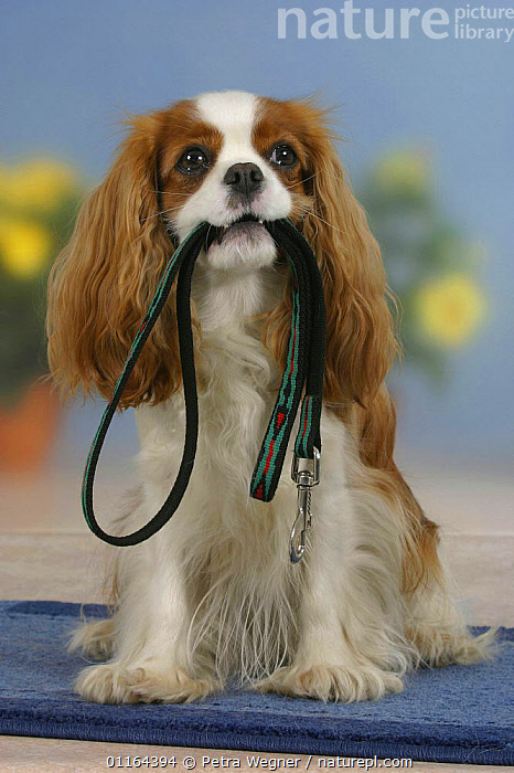Domestic dog, Cavalier King Charles Spaniel (Blenheim) holding leash in mouth  ,  DOGS,pedigree,PETS,SITTING,Studio,toy dogs,VERTEBRATES,VERTICAL,Canids  ,  Petra Wegner