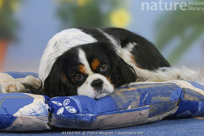 Domestic dog, Cavalier King Charles Spaniel (tricolor) lying in cushion, CUTE,DOGS,lying down,pedigree,PETS,Studio,toy dogs,VERTEBRATES,Canids, Petra Wegner