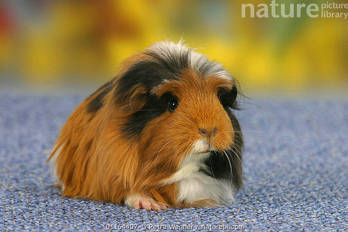 Coronet Guinea Pig, black-red-white  ,  CAVIES,FLUFFY,MAMMALS,pedigree,PETS,rodents,Studio,VERTEBRATES,WEST-AFRICA,Africa  ,  Petra Wegner