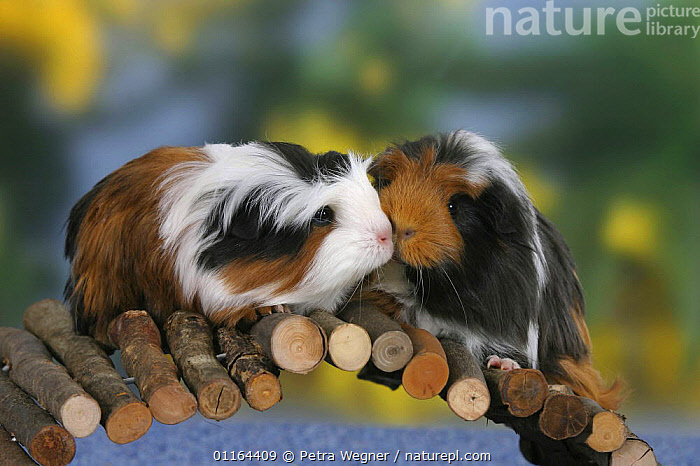Two Coronet Guinea Pigs on bridge, AFFECTIONATE,CAVIES,CUTE,FRIENDS,INTERACTION,MAMMALS,pedigree,PETS,rodents,sniffing,Studio,VERTEBRATES,concepts,WEST-AFRICA,Africa, Petra Wegner