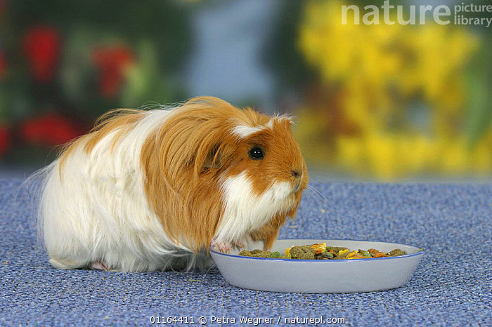 Coronet Guinea Pig, red-white, at feeding bowl, CAVIES,eating,HAIR,MAMMALS,pedigree,PETS,rodents,Studio,VERTEBRATES,WEST-AFRICA,Africa, Petra Wegner