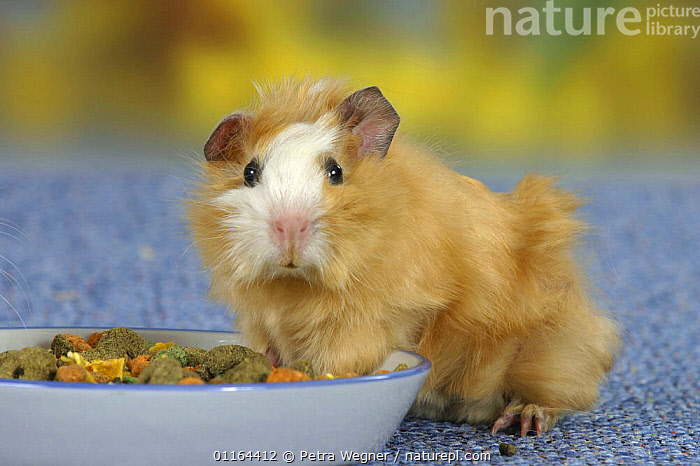 Young Abyssinian Guinea Pig, satin buff-white, at feeding bowl, CAVIES,CUTE,eating,funny,MAMMALS,pedigree,PETS,rodents,Studio,VERTEBRATES,WEST-AFRICA,Africa, Petra Wegner