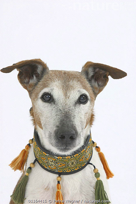 Domestic dog, Smooth Fox Terrier, 16 years  ,  collar,CUTOUT,DOGS,FACES,OLD,pedigree,PETS,Studio,terriers,VERTEBRATES,VERTICAL,Canids ,MAMMALS  ,  Petra Wegner