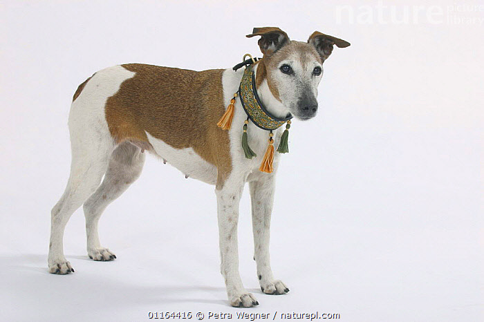 Domestic dog, Smooth Fox Terrier, 16 years, collar,CUTOUT,DOGS,OLD,pedigree,PETS,STANDING,Studio,terriers,VERTEBRATES,Canids ,MAMMALS, Petra Wegner