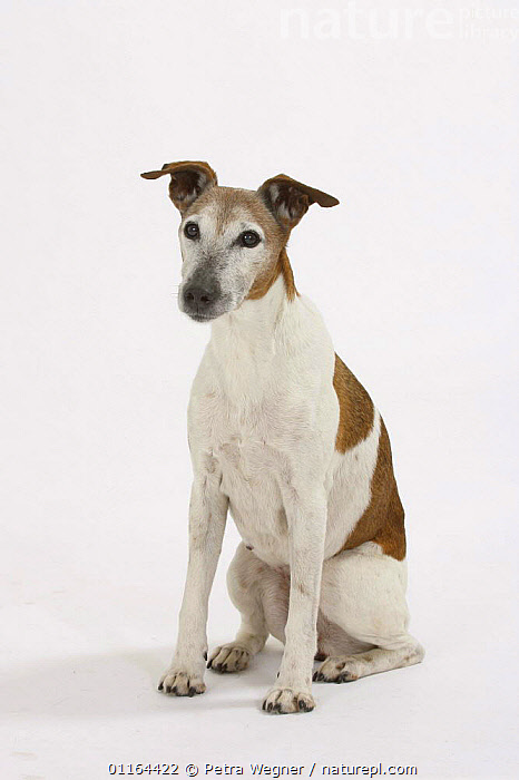 Domestic dog, Smooth Fox Terrier, 16 years  ,  CUTOUT,DOGS,OLD,pedigree,PETS,SITTING,Studio,terriers,VERTEBRATES,VERTICAL,Canids ,MAMMALS  ,  Petra Wegner