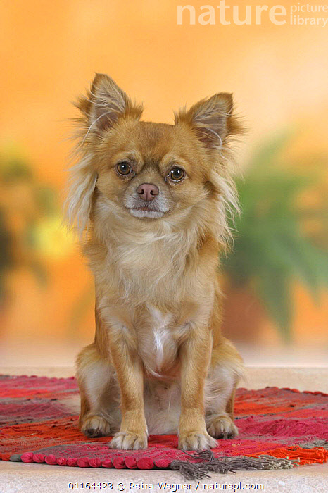 Domestic dog, longhaired Chihuahua  ,  CUTE,DOGS,pedigree,PETS,SITTING,Studio,toy dogs,VERTEBRATES,VERTICAL,Canids  ,  Petra Wegner