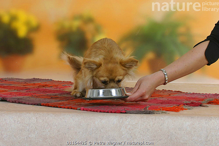 Domestic dog, longhaired Chihuahua getting feeding bowl, DOGS,eating,pedigree,PEOPLE,PETS,Studio,toy dogs,VERTEBRATES,Canids, Petra Wegner