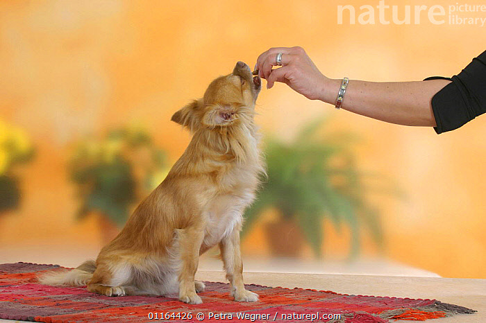 Domestic dog, longhaired Chihuahua getting treat  ,  DOGS,eating,FEEDING,pedigree,PEOPLE,PETS,SITTING,Studio,toy dogs,VERTEBRATES,Canids  ,  Petra Wegner