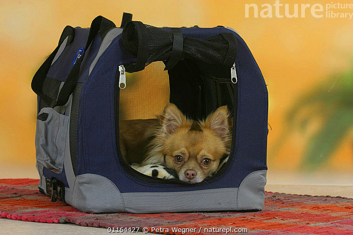 Domestic dog, longhaired Chihuahua in travel kennel  ,  CUTE,DOGS,lying down,pedigree,PETS,Studio,toy dogs,VERTEBRATES,Canids  ,  Petra Wegner