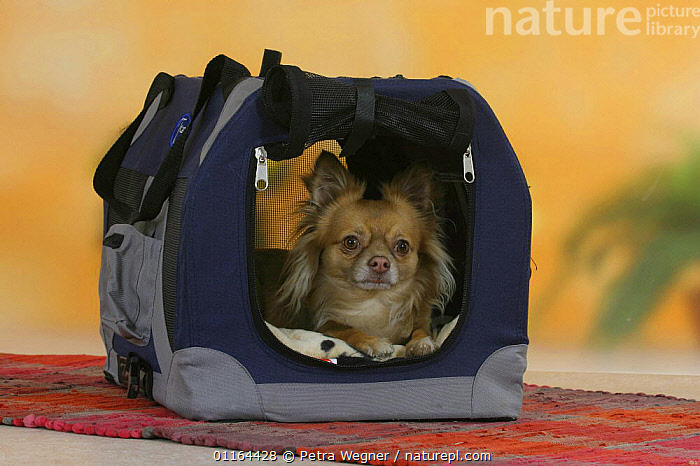 Domestic dog, longhaired Chihuahua in travel kennel, DOGS,pedigree,PETS,Studio,toy dogs,VERTEBRATES,Canids, Petra Wegner