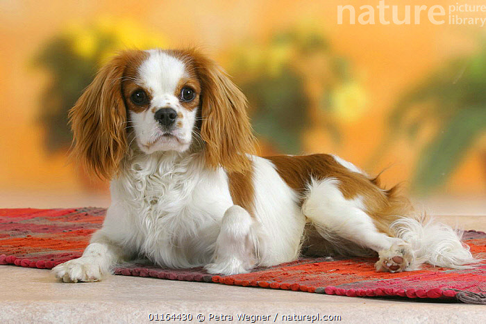 Domestic dog, Cavalier King Charles Spaniel (Blenheim)  ,  DOGS,lying down,pedigree,PETS,Studio,toy dogs,VERTEBRATES,Canids  ,  Petra Wegner