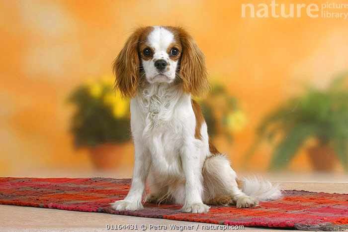 Domestic dog, Cavalier King Charles Spaniel (Blenheim)  ,  DOGS,pedigree,PETS,SITTING,Studio,toy dogs,VERTEBRATES,Canids  ,  Petra Wegner