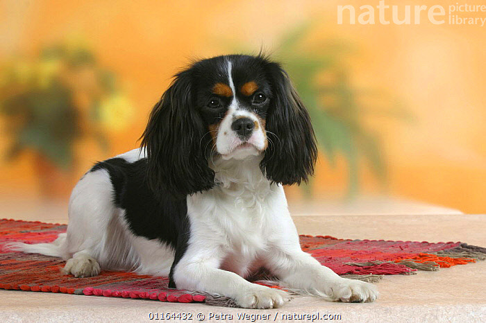 Domestic dog, Cavalier King Charles Spaniel (tricolor)  ,  DOGS,lying down,pedigree,PETS,Studio,toy dogs,VERTEBRATES,Canids  ,  Petra Wegner