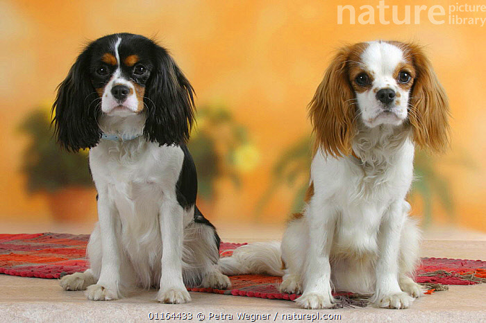 Domestic dog, two Cavalier King Charles Spaniel (Blenheim and tricolor), DOGS,FRIENDS,pedigree,PETS,SITTING,Studio,toy dogs,VERTEBRATES,Canids, Petra Wegner