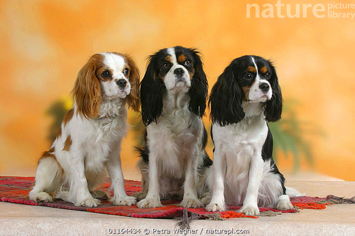 Domestic dog, three Cavalier King Charles Spaniels (Blenheim and tricolor)  ,  DOGS,FRIENDS,pedigree,PETS,SITTING,Studio,toy dogs,VERTEBRATES,Canids  ,  Petra Wegner