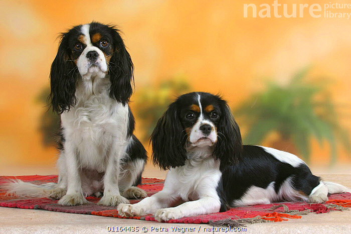 Domestic dog, two Cavalier King Charles Spaniels (tricolor)  ,  DOGS,FRIENDS,lying down,pedigree,PETS,SITTING,Studio,toy dogs,VERTEBRATES,Canids  ,  Petra Wegner