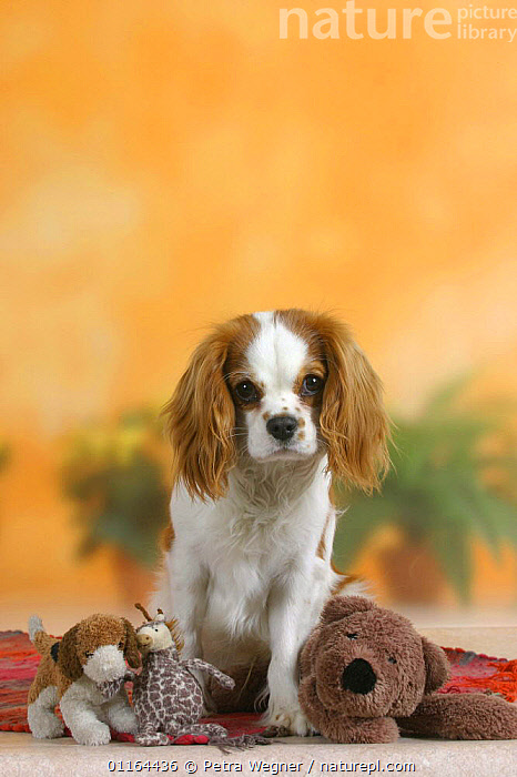 Domestic dog, Cavalier King Charles Spaniel (Blenheim) with toys  ,  CUTE,DOGS,pedigree,PETS,Studio,toy dogs,VERTEBRATES,VERTICAL,Canids  ,  Petra Wegner