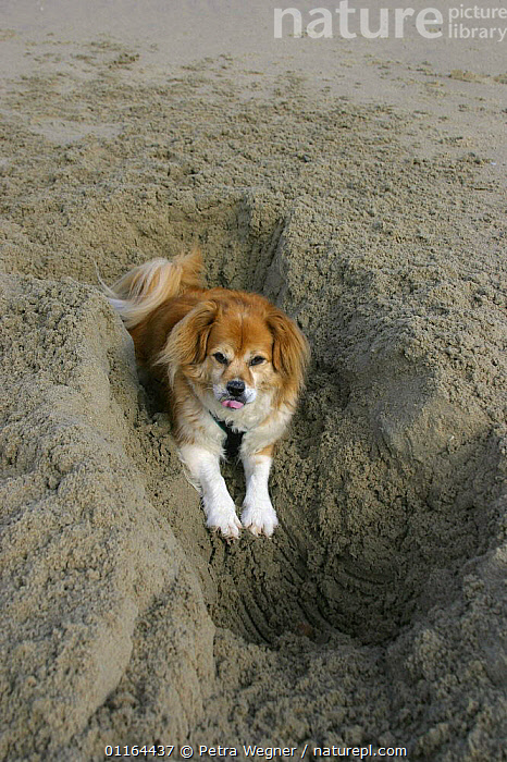 Domestic dog, Mixed Breed Dog digging at beach  ,  DOGS,half breed,mongrel,mutt,PETS,Studio,VERTEBRATES,VERTICAL,Canids  ,  Petra Wegner