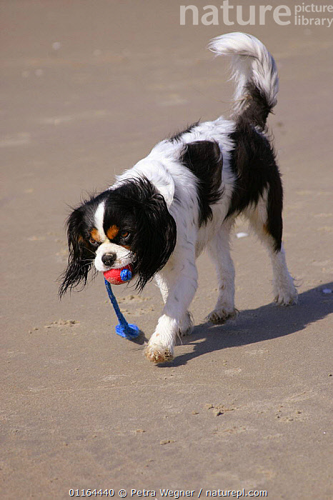 Domestic dog, Cavalier King Charles Spaniel (tricolor) retrieving ball at beach  ,  DOGS,pedigree,PETS,playing,seaside,Studio,toy dogs,VERTEBRATES,VERTICAL,Canids  ,  Petra Wegner