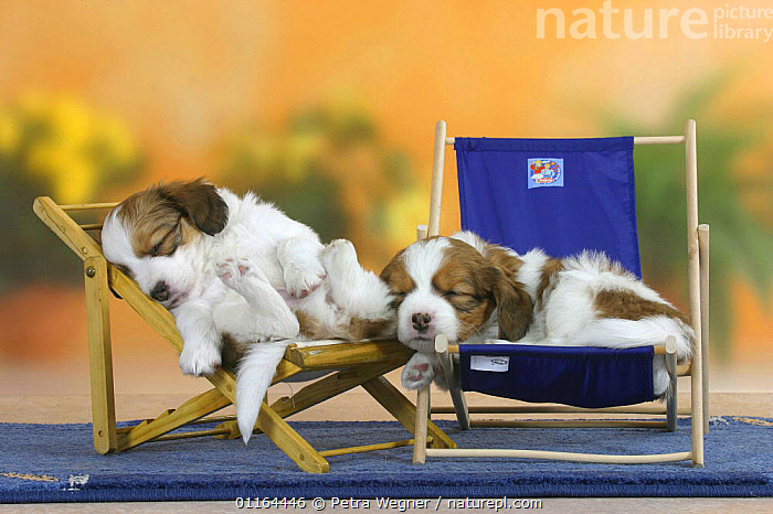Domestic dog, two Small Dutch Waterfowl Dog / Kooiker Hound /  Kooikerhondje puppies 6 weeks, sleeping on deckchairs, BABIES,BABY,CUTE,DOGS,FRIENDS,gundogs,JUVENILE,lying down,pedigree,PETS,puppies,puppy,sporting,Studio,VERTEBRATES,Canids,chairs,chair, Petra Wegner