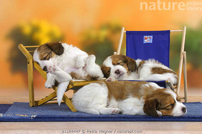 Domestic dog, three Small Dutch Waterfowl Dog / Kooiker Hound /  Kooikerhondje puppies, 6 weeks, sleeping on deckchairs  ,  BABIES,BABY,CUTE,DOGS,FRIENDS,gundogs,JUVENILE,lying down,pedigree,PETS,puppies,puppy,sporting,Studio,VERTEBRATES,Canids,chairs,chair  ,  Petra Wegner