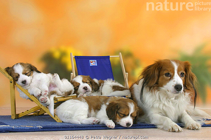 Domestic dog, Small Dutch Waterfowl Dog / Kooiker Hound /  Kooikerhondje with three sleeping puppies, 6 weeks, on deckchairs  ,  BABIES,BABY,CUTE,DOGS,FAMILIES,gundogs,JUVENILE,lying down,pedigree,PETS,puppies,puppy,sporting,Studio,VERTEBRATES,Canids,chairs,chair  ,  Petra Wegner