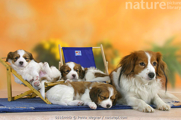 Domestic dog, Small Dutch Waterfowl Dog / Kooiker Hound /  Kooikerhondje with three sleeping puppies, 6 weeks, on deckchairs  ,  BABIES,BABY,CUTE,DOGS,FAMILIES,gundogs,JUVENILE,lying down,pedigree,PETS,puppies,puppy,sporting,Studio,VERTEBRATES,Canids,chair,chairs  ,  Petra Wegner