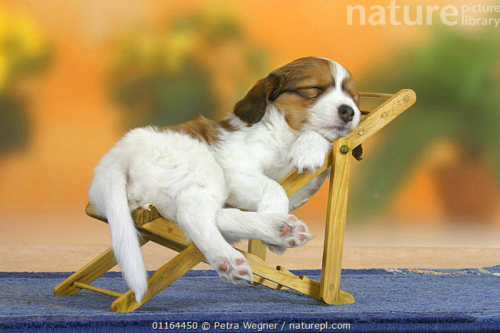 Domestic dog, Small Dutch Waterfowl Dog / Kooiker Hound /  Kooikerhondje puppy, 6 weeks, sleeping on chair, BABIES,BABY,CUTE,DOGS,funny,gundogs,humorous,JUVENILE,pedigree,PETS,puppies,puppy,sporting,Studio,VERTEBRATES,Canids,chair,chairs,Concepts, Petra Wegner