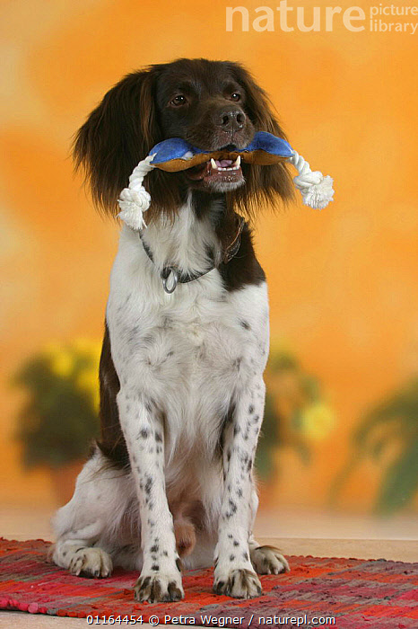 Domestic dog, Small Munsterlander holding toy in mouth, DOGS,gundogs,pedigree,PETS,SITTING,sporting,Studio,VERTEBRATES,VERTICAL,Canids, Petra Wegner