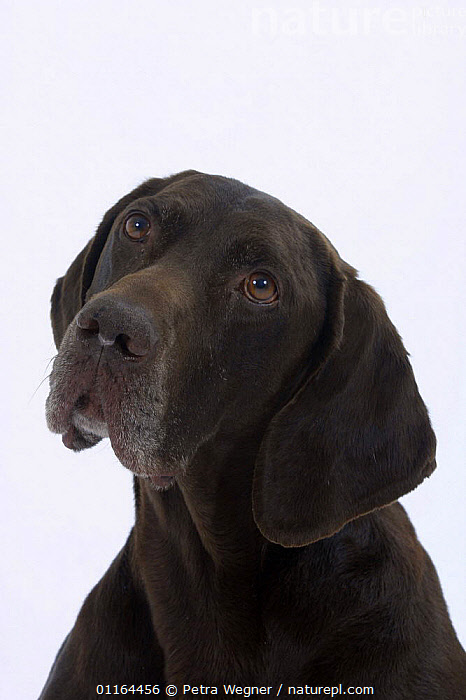Domestic dog, German Shorthaired Pointer, CUTE,CUTOUT,DOGS,expression,FACES,gundogs,pedigree,PETS,SAD,sporting,Studio,VERTEBRATES,VERTICAL,Concepts,Canids, Petra Wegner