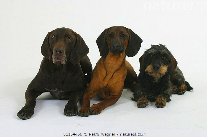 Domestic dogs, German Shorthaired Pointer, Bavarian Mountain Scenthound and Wirehaired Dachshund  ,  breeds,CUTOUT,DOGS,FRIENDS,gundogs,hounds,lying down,pedigree,PETS,sporting,Studio,VERTEBRATES,Canids  ,  Petra Wegner