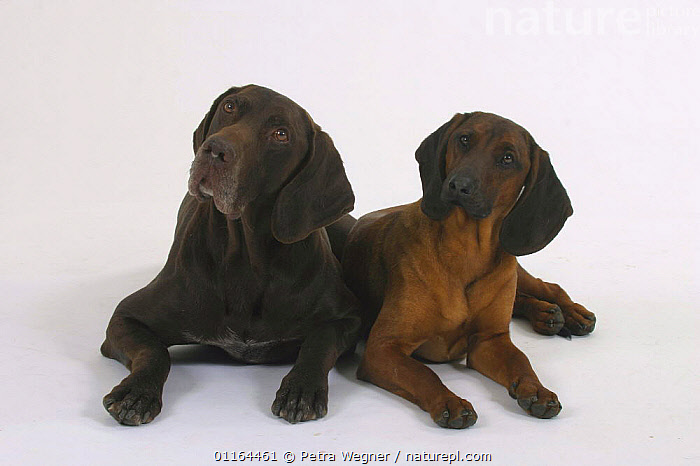 Domestic dogs, German Shorthaired Pointer and Bavaria Mountain Scenthound, breeds,CUTOUT,DOGS,FRIENDS,gundogs,lying down,pedigree,PETS,sporting,Studio,VERTEBRATES,Canids, Petra Wegner