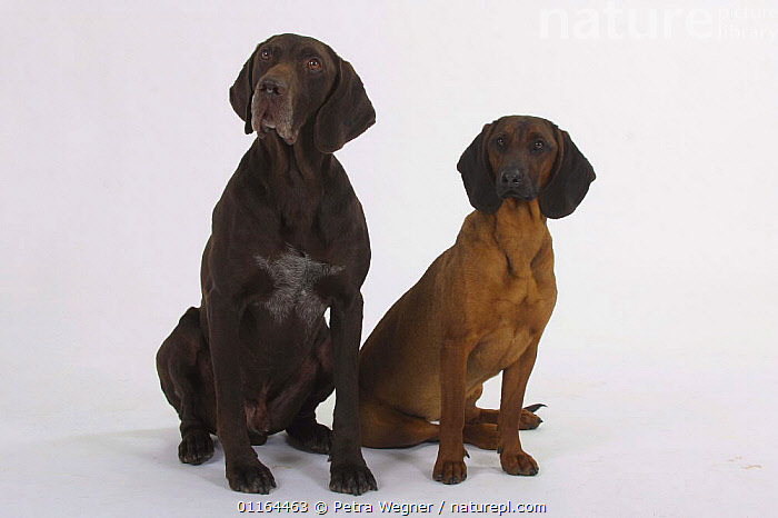 Domestic dog, German Shorthaired Pointer and Bavaria Mountain Scenthound, breeds,CUTOUT,DOGS,FRIENDS,gundogs,hounds,pedigree,PETS,SITTING,sporting,Studio,VERTEBRATES,Canids, Petra Wegner