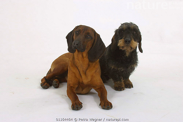 Domestic dog, Bavarian Mountain Scenthound and Wirehaired Dachshund, breeds,CUTOUT,DOGS,FRIENDS,hounds,lying down,pedigree,PETS,SITTING,Studio,VERTEBRATES,Canids, Petra Wegner