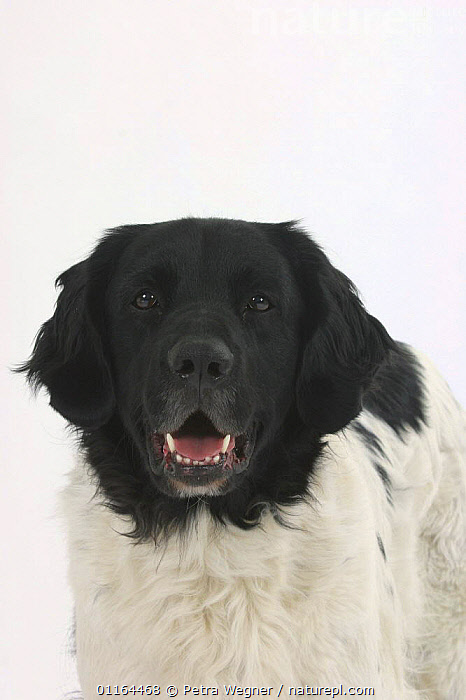 Domestic dog, Mixed Breed Dog, CUTOUT,DOGS,FACES,half breed,HEADS,mongrel,mutt,PETS,smiling,Studio,VERTEBRATES,VERTICAL,Canids, Petra Wegner