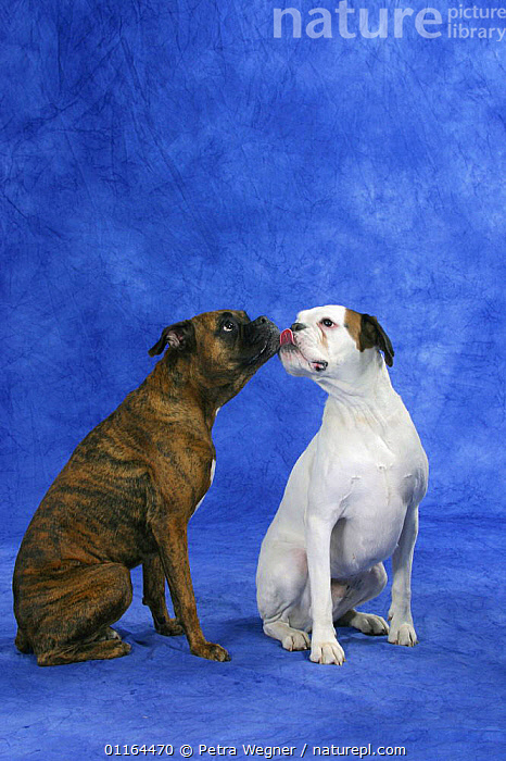 Domestic dog, tricolour German Boxer licking the face of a brindled German Boxer  ,  AFFECTIONATE,CUTE,DOGS,FRIENDS,pedigree,PETS,SITTING,Studio,two,utility,VERTEBRATES,VERTICAL,WORKING,concepts,Canids  ,  Petra Wegner