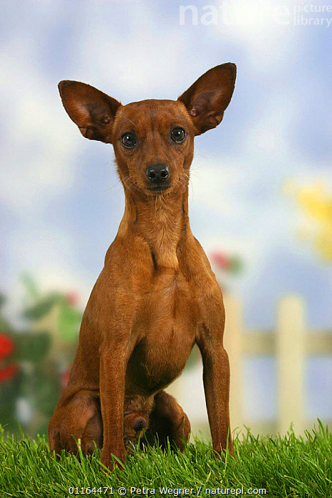 Domestic dog, Miniature Pinscher with cropped ears, CUTE,DOGS,ear cropping,EARS,pedigree,PETS,SITTING,Studio,toy dogs,VERTEBRATES,VERTICAL,Canids, Petra Wegner